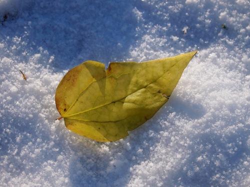 Snowleaf