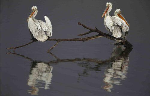 Dalmatian pelicans, by Steve Mills