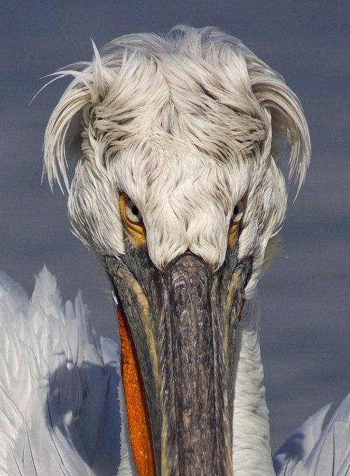Dalmatian pelican, by Steve Mills