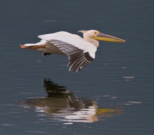 White pelican, by Steve Mills