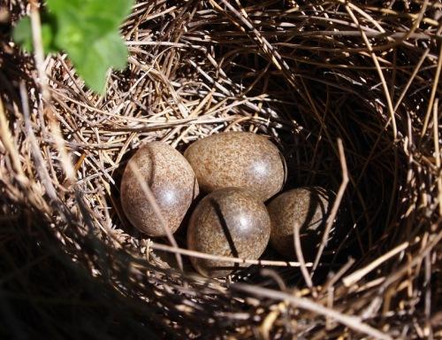 Skylark nest