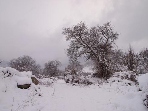 Walnut in snow