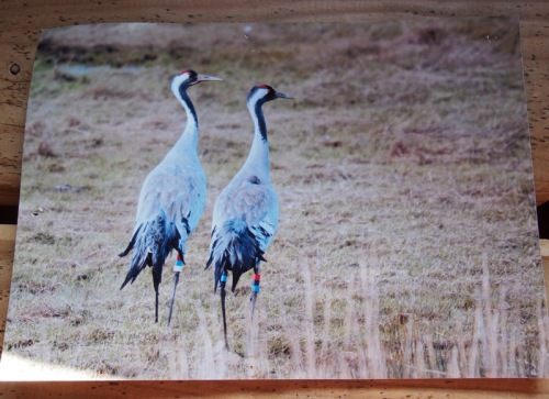 Common cranes, Gwent Levels