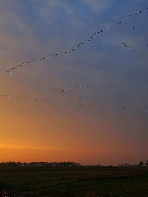 Evening cranes