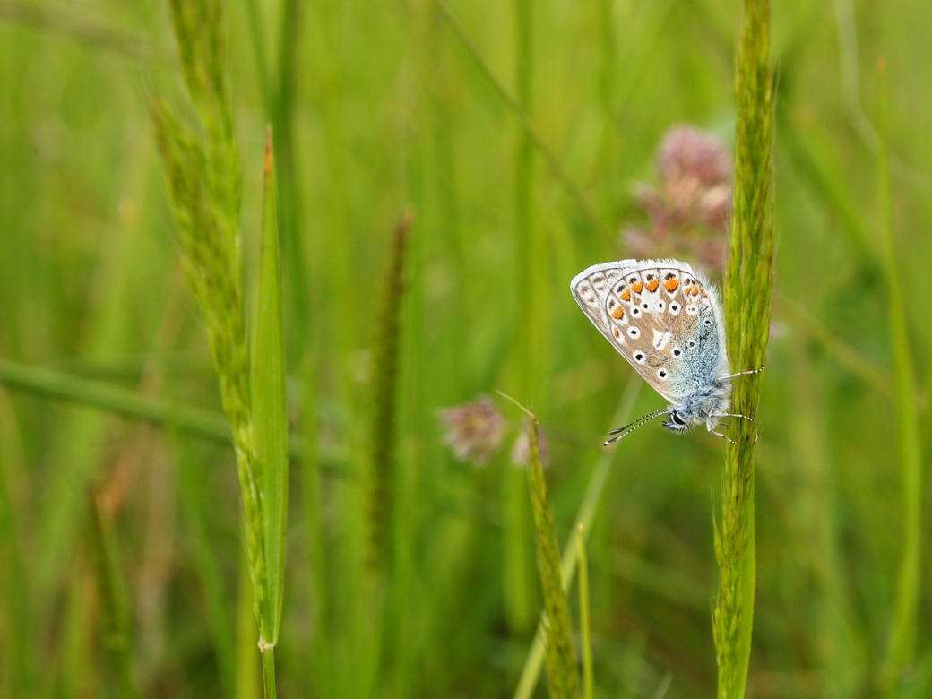 Common blue, Hoo Peninsula
