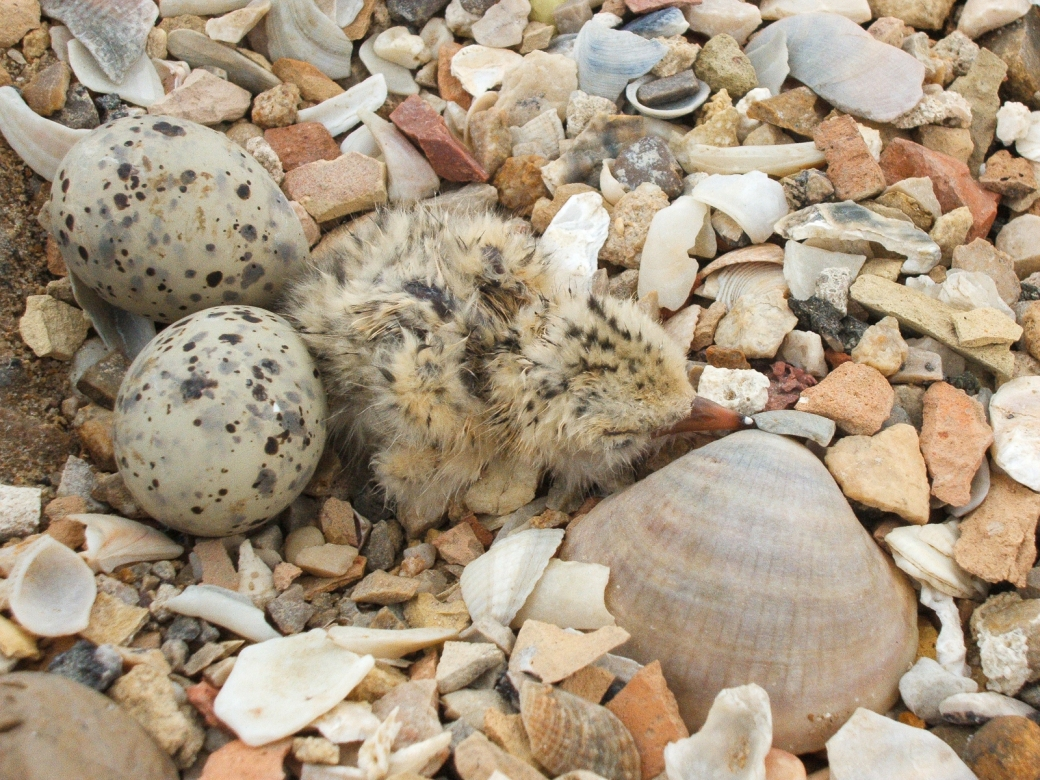 Freshly hatched Kentish plover. Credit - Salarte