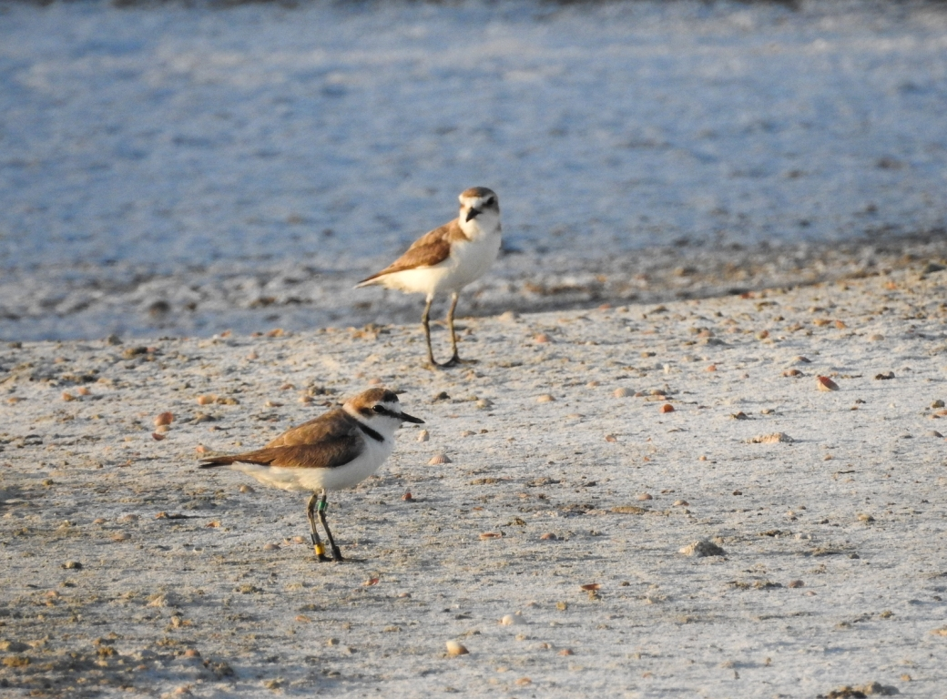 Kentish plovers, Bay of Cádiz. Credit - Salarte