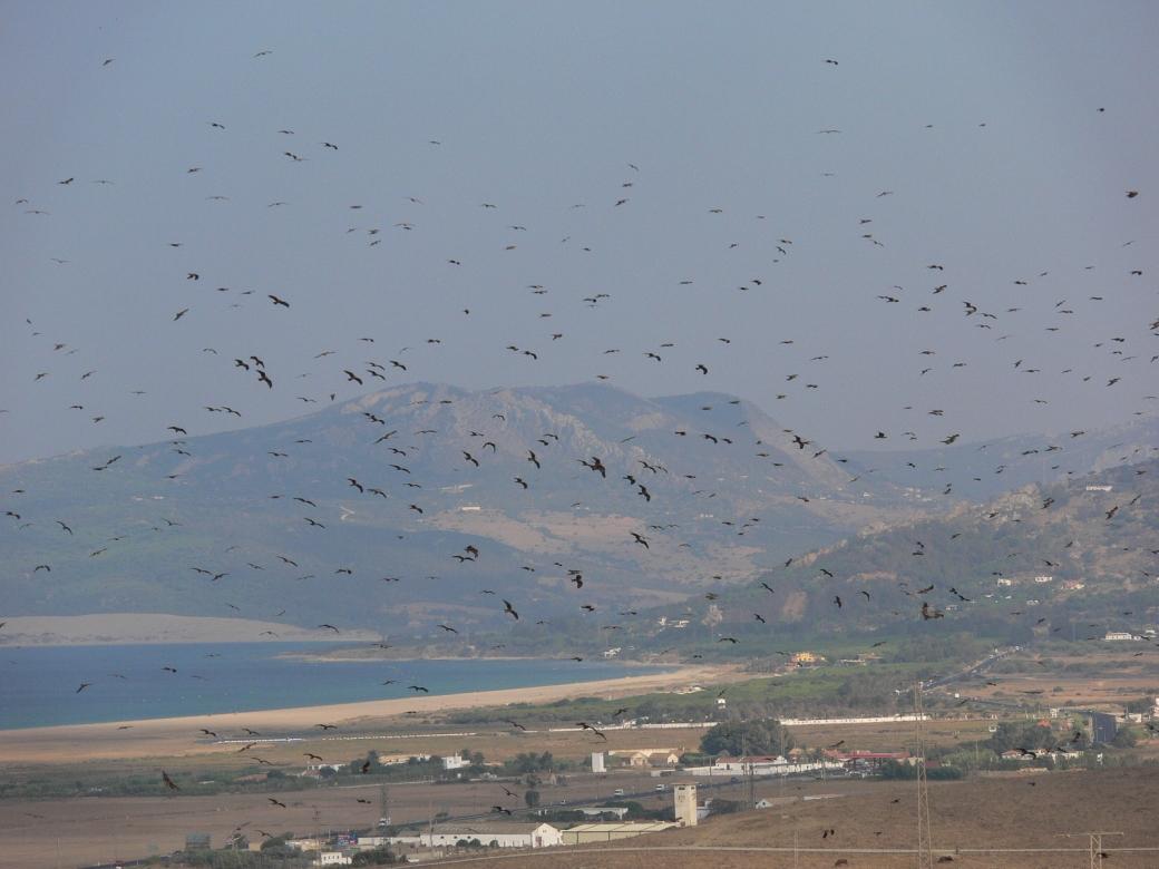 Black kites. Credit - Alejandro Onrubia, Fundación Migres