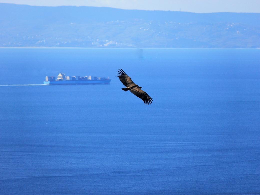 Griffon vulture. Alejandro Onrubia, Fundación Migres