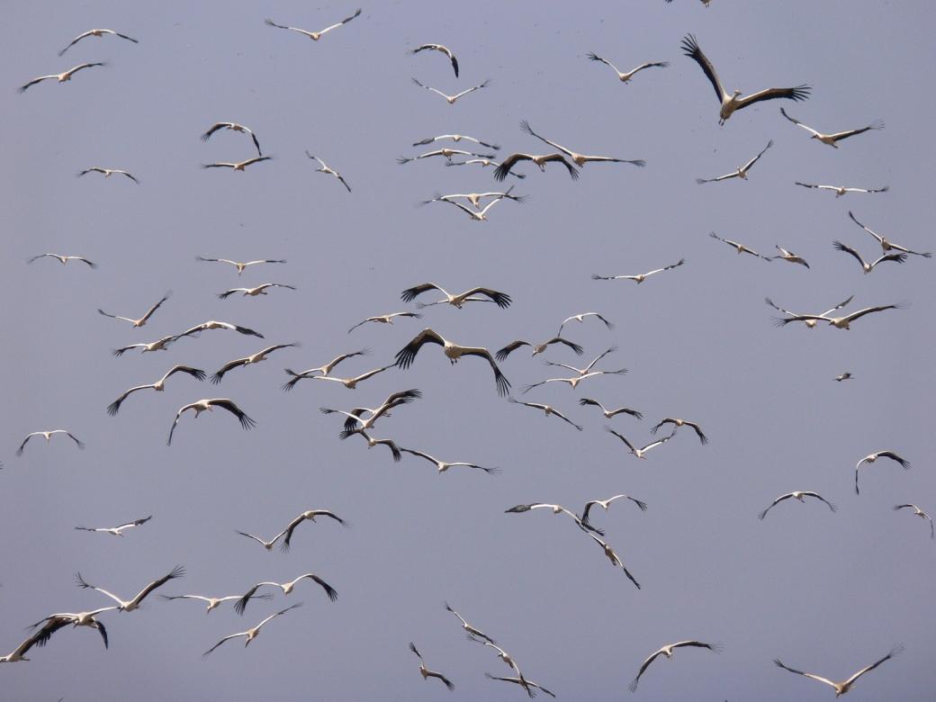 Migrating white storks. Credit - Alejandro Onrubia, Fundación Migres