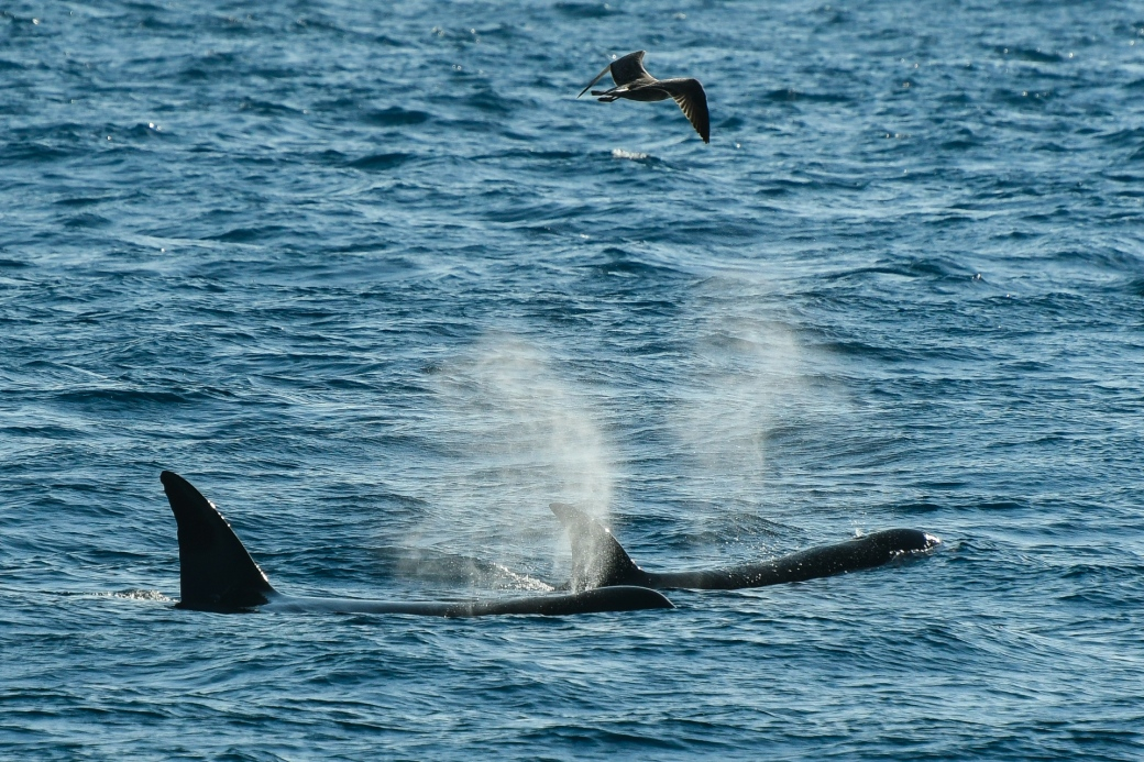 Orcas, Strait of Gibraltar. Credit - Iris Anfruns, Turmares