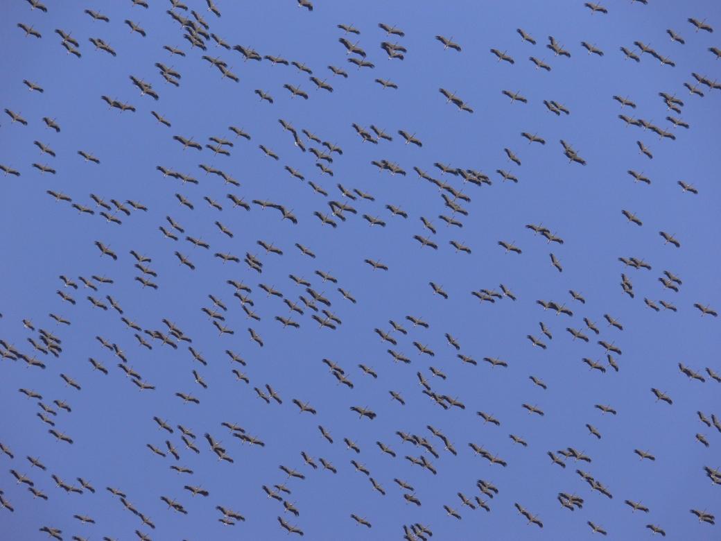 White storks. Credit - Alejandro Onrubia, Fundación Migres
